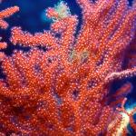 Foto di Corallo nei mari di pantelleria