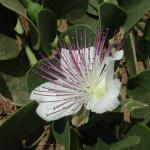 Cappero di Pantelleria in fiore